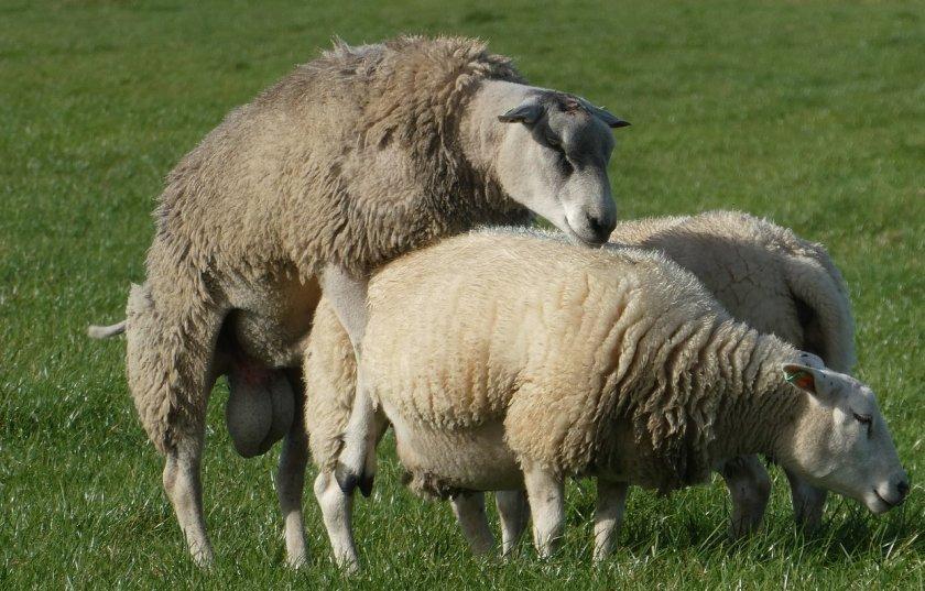 Случка овец