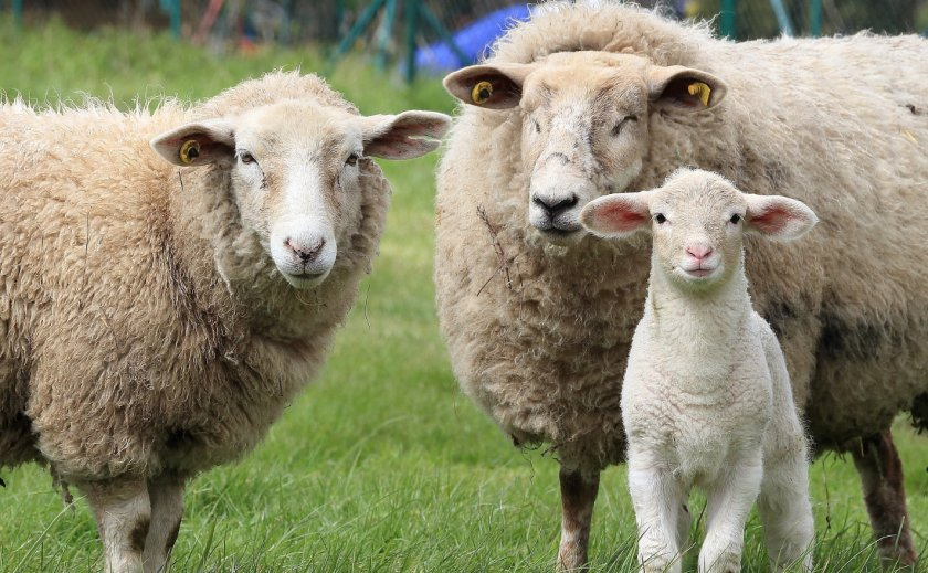 Семья овец