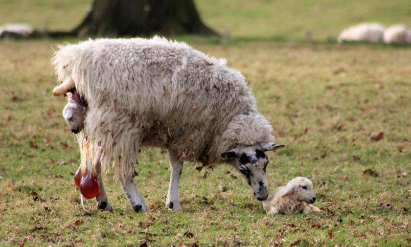 Ягнение овцы