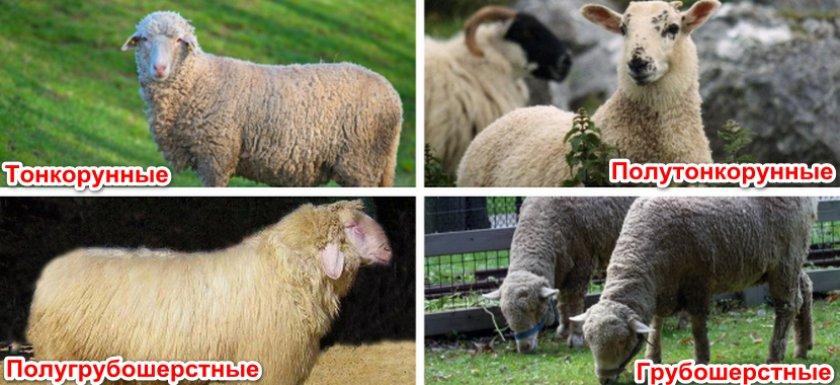 Разновидности овец
