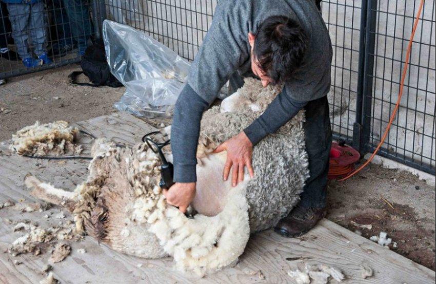 Машинная стрижка овец