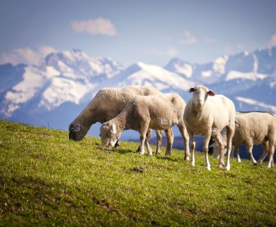 Как правильно пасти овец: сроки, нормы и техника