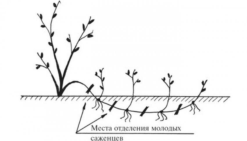 Размножение малины горизонтальными отводками
