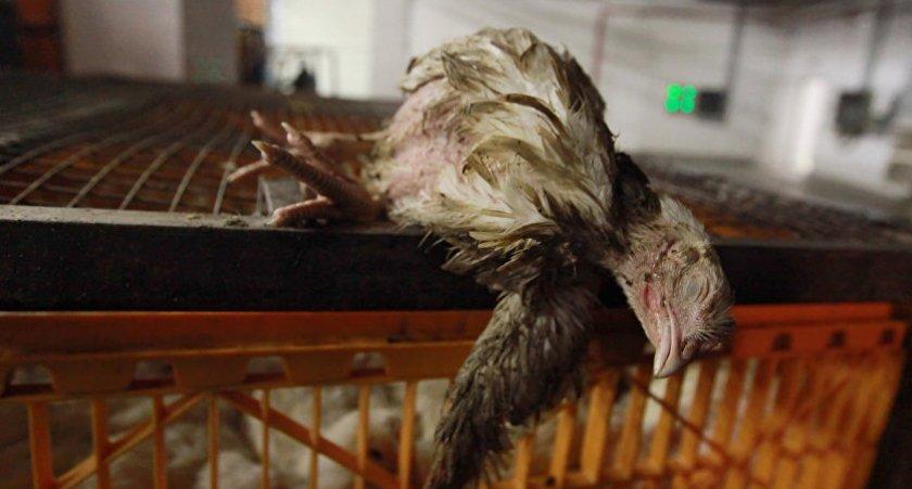 Мертвая курица