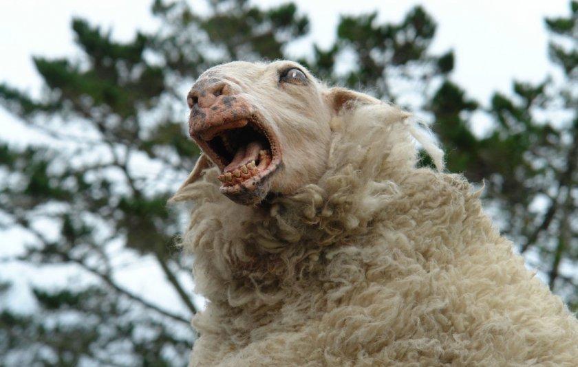 Бешенство овец