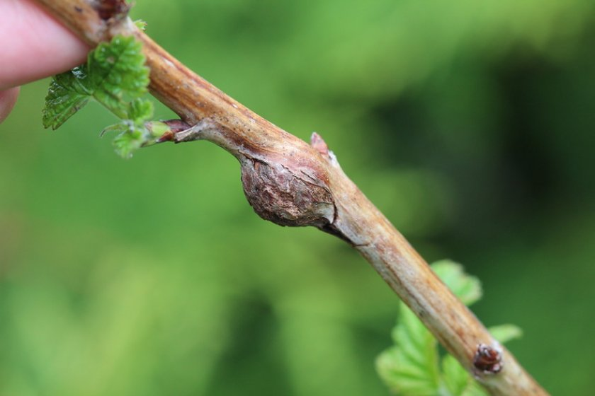 Признак наличия стеблевой галлицы на малине