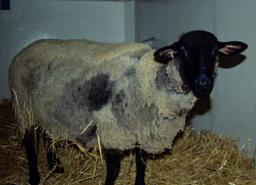Трихофития овец