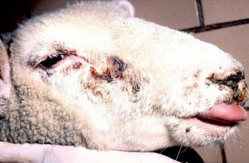 Инфекционный гепатит овцы