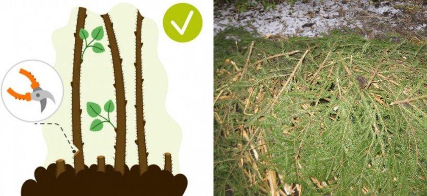 Обрезка под корень и укрытие малины лапником на зиму