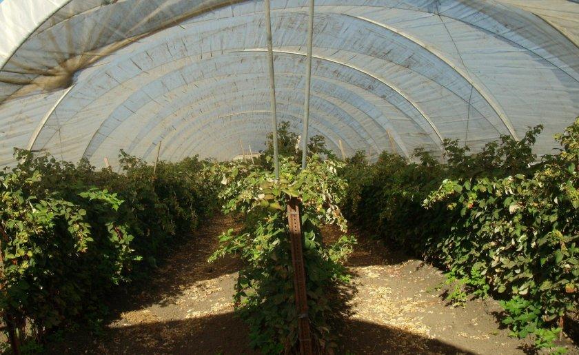 Выращивание малины в теплице круглый год