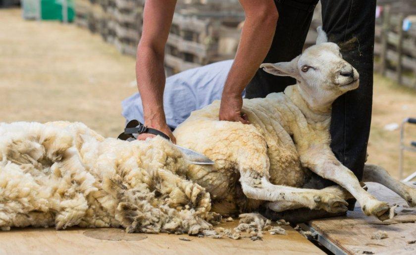 Ручная стрижка овец