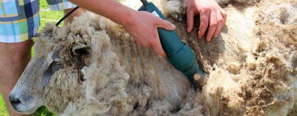 Какой должна быть машинка для стрижки овец: описание и отзывы. Рейтинг фирм-производителей