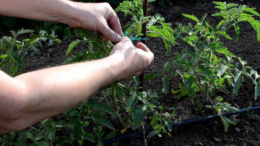Выращивание помидоров торбей