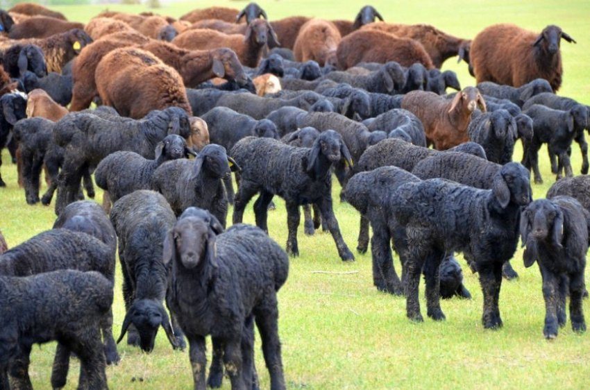 Отара овец на пастбище