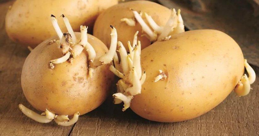 Картошка лучшие сорта: посадка и уход