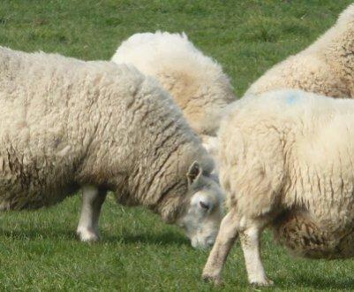 Суягная (беременная) овца: сколько ягнят может быть в одном окоте, частота суягности