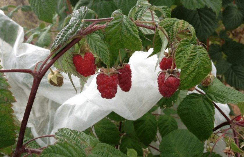 Рубиновая малина