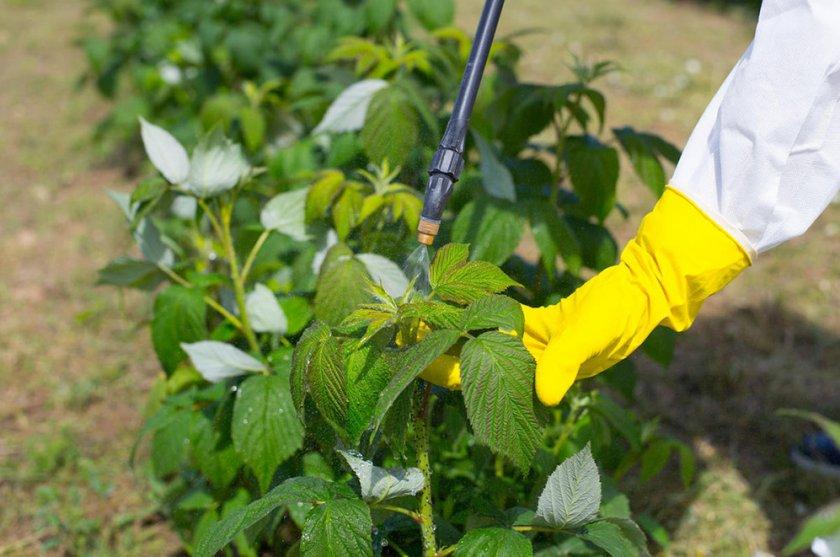 Опрыскивание малины от болезней и вредителей