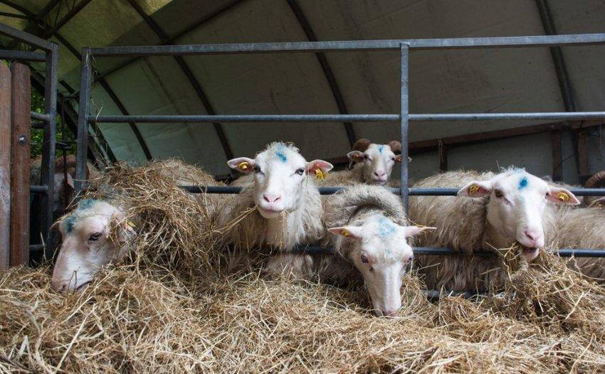 Овцы кушают сено