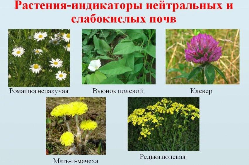 Природный индикатор определение кислотности почв