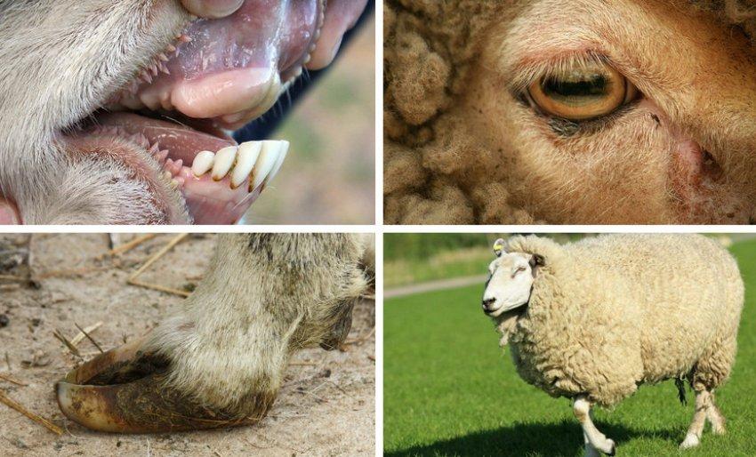 Критерии выбора здоровой овцы