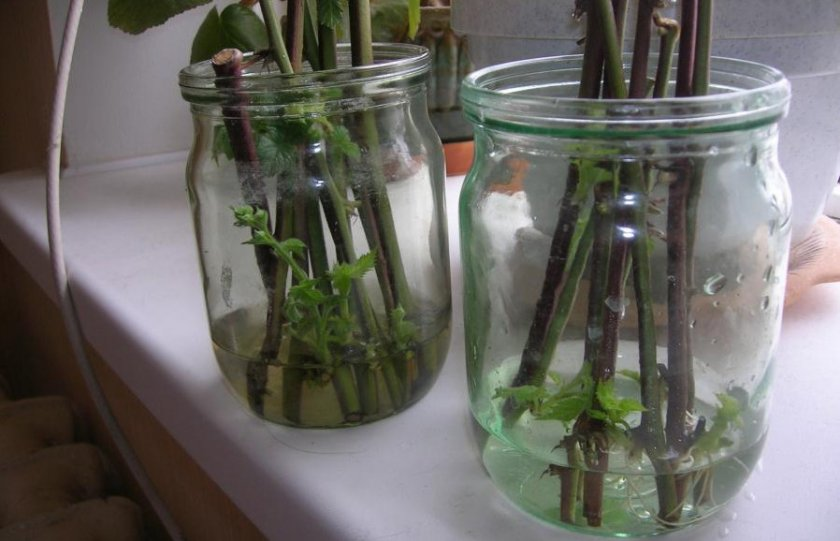 Размножение малины зелёными черенками