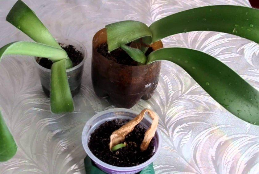 Размножение черенками листьев