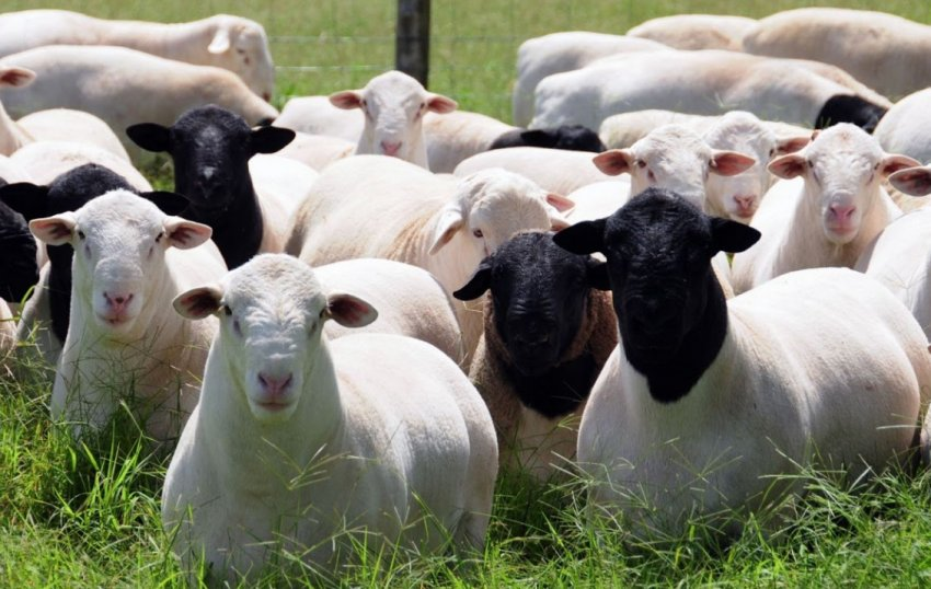 Овцы Дорпер