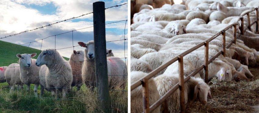 Содержания овец