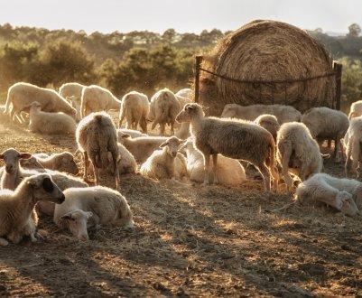 Овцеводство в странах мира