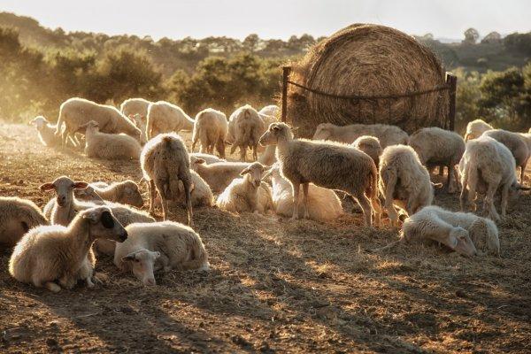 Овцеводство: страны, поголовье по миру, где разводят больше овец и почему, лидеры по поголовью в мире