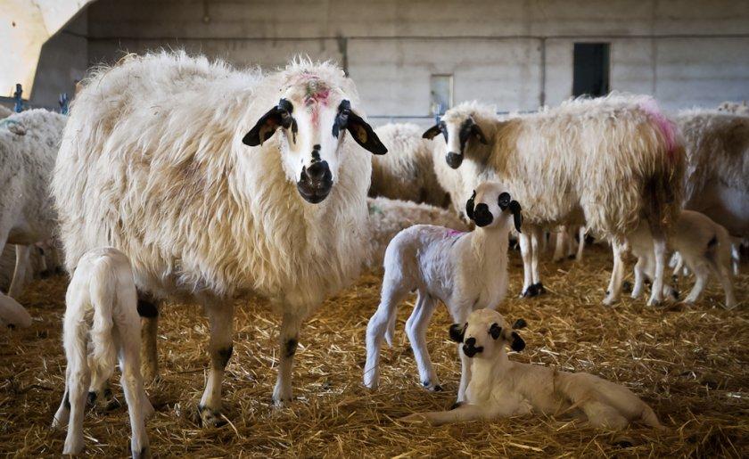 Цигайская молочная порода овец