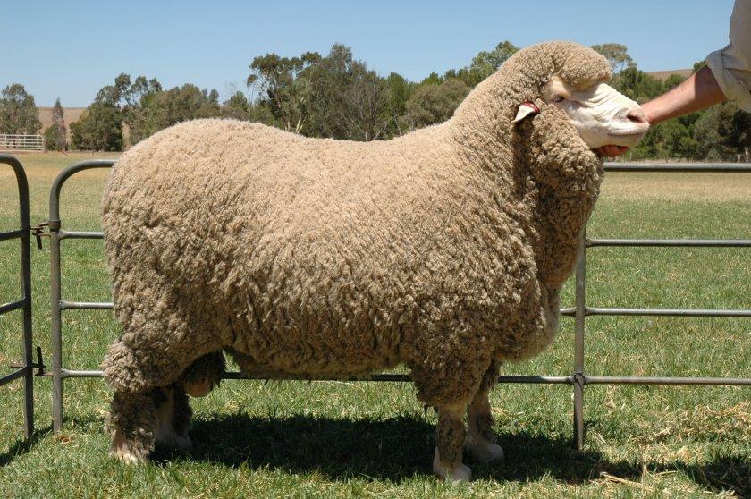 Овца шёрстной породы Мериноса