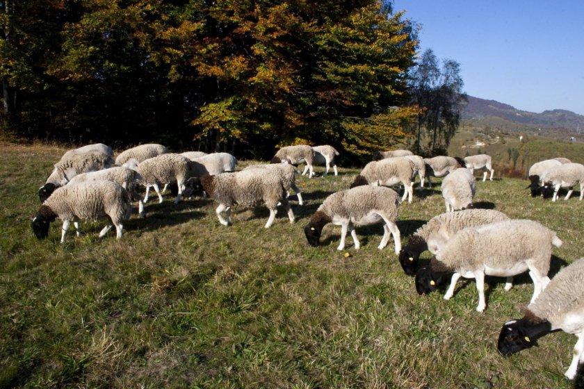 Мясная порода овец Дропер
