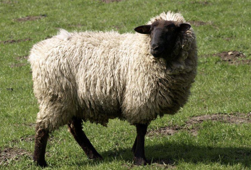 Овца горьковской породы