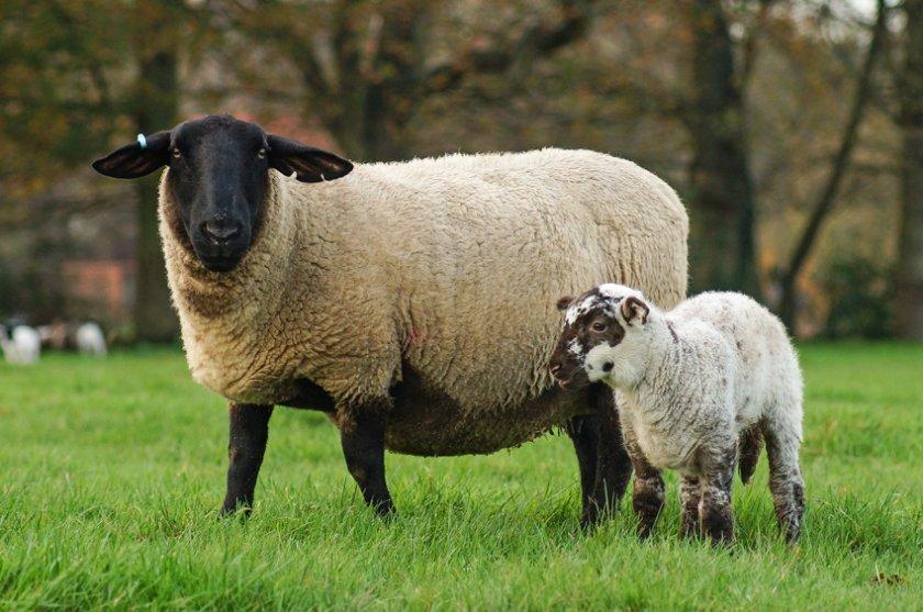 Порода овец суффолк