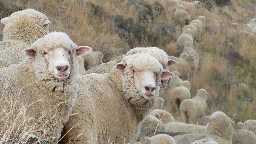 Порода овец южно-кавказский меринос