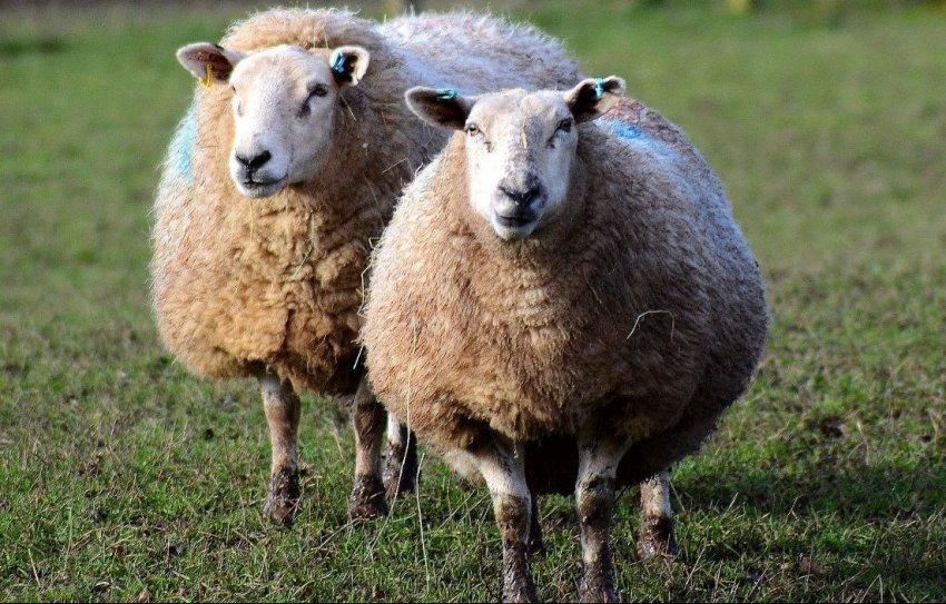Охота овец