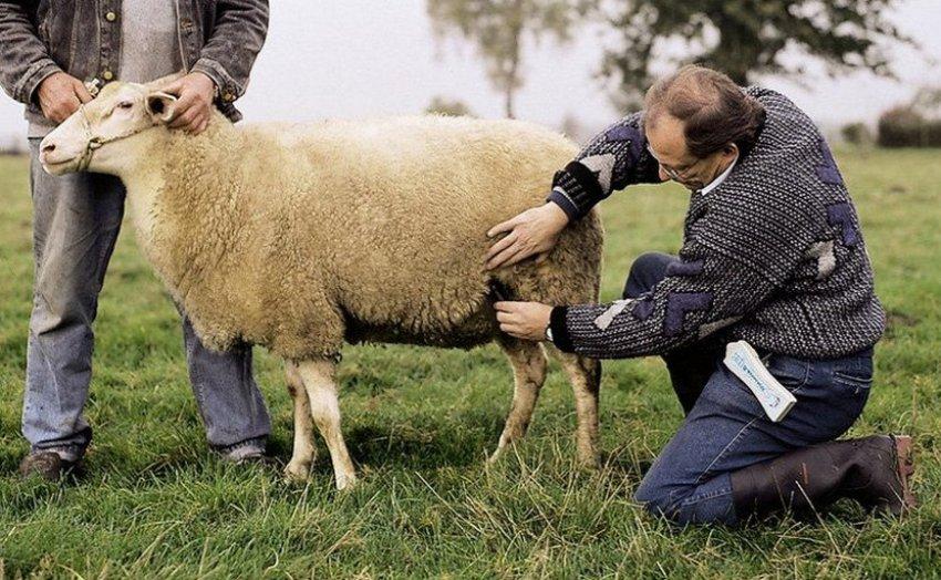 Оплодотворенная овца