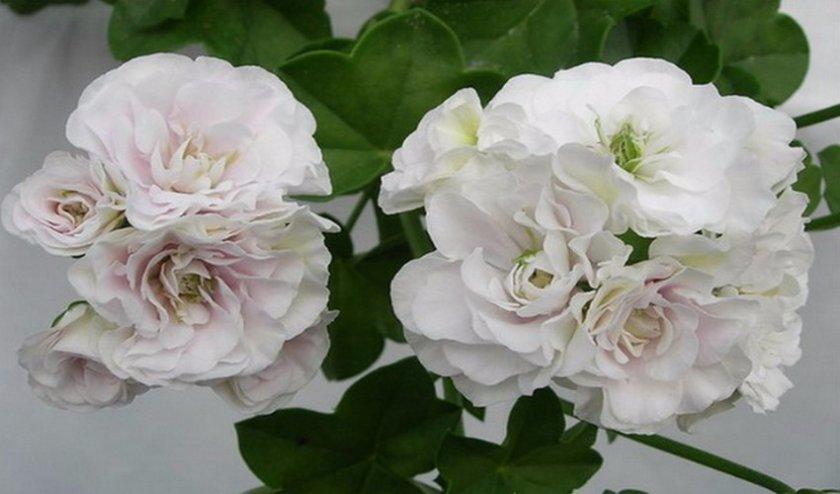 Icerose
