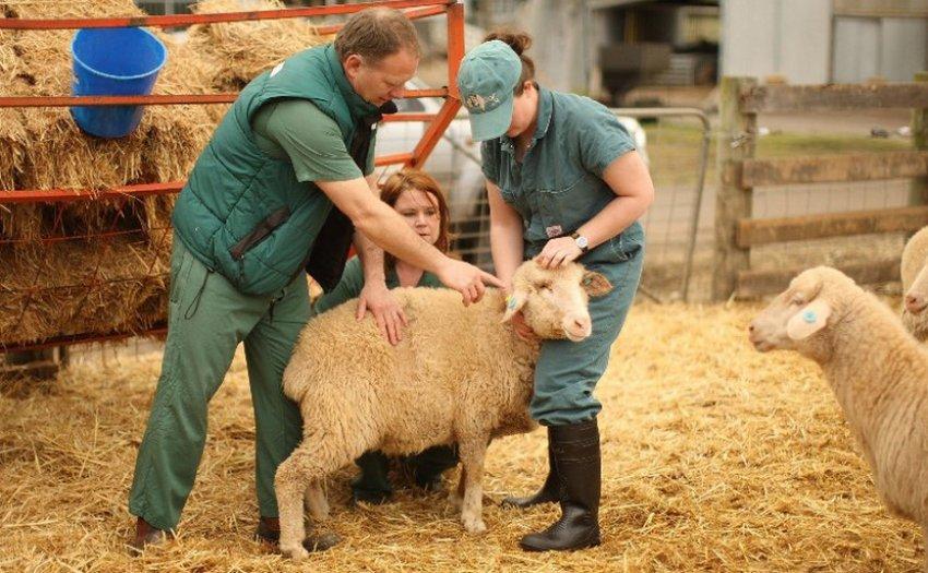 Осмотр овцы