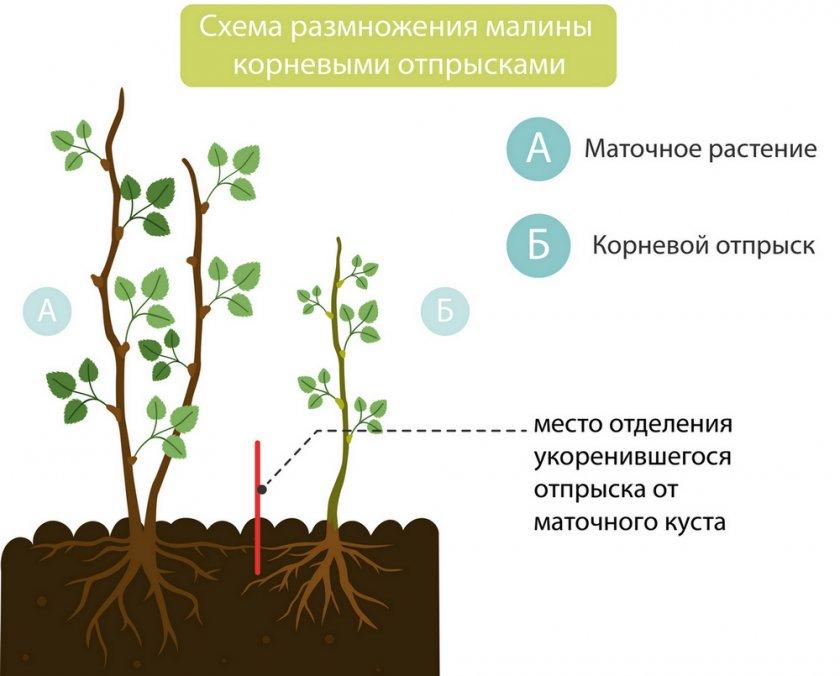 Размножение малины корневым отпрыском