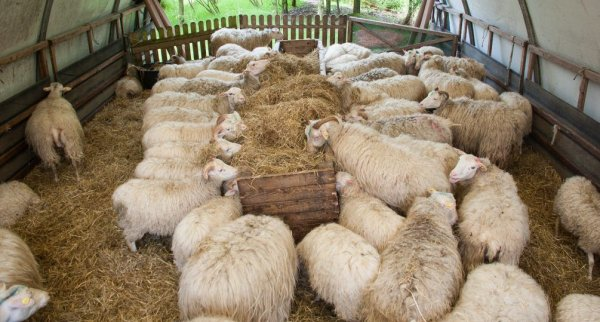 Содержание овец: уход и разведение в домашних условиях