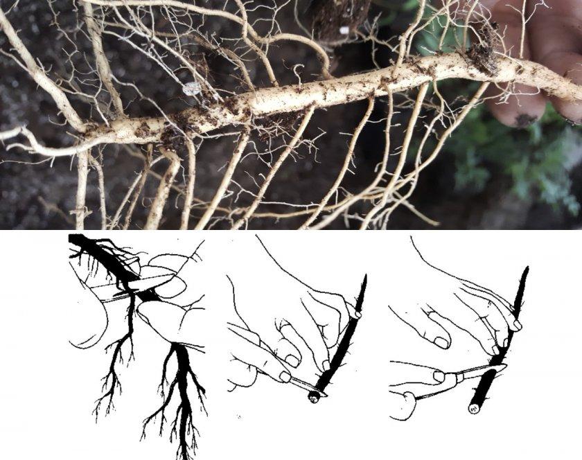 Нарезка корневых черенков малины для размножения