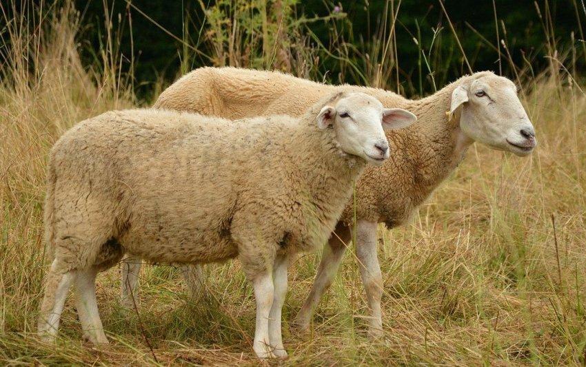 Взрослые овцы