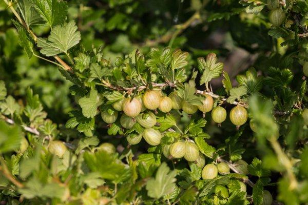 Крыжовник - это ягода, или фрукт