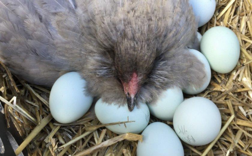 Амераукана на яйцах