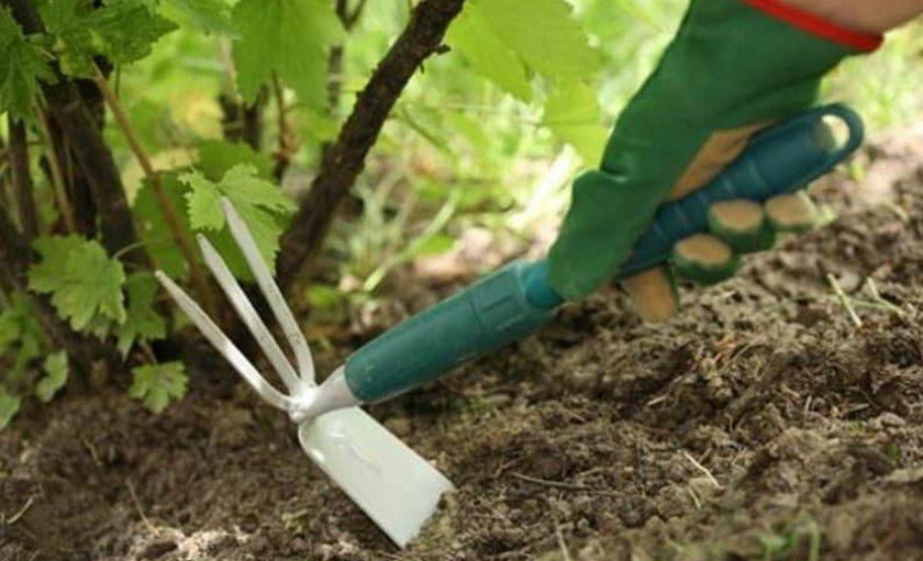 Рыхление почвы под кустом