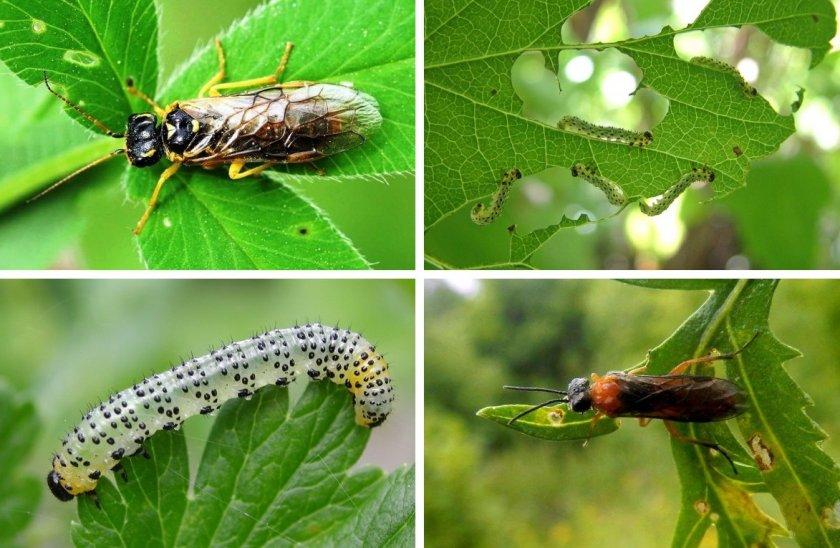 Крыжовниковые пилильщики и их гусеницы