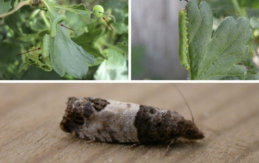 Почковая листовёртка